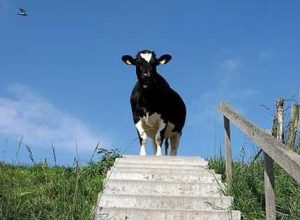 can cows go downstairs